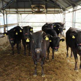 Thịt bò Wagyu Nhật Bản được nuôi thế nào?